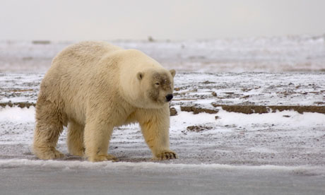 Polar-Grizzly Bear Hybrids Now Found in the Wild